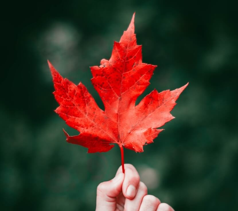 Maple Leaf Drawing Reference