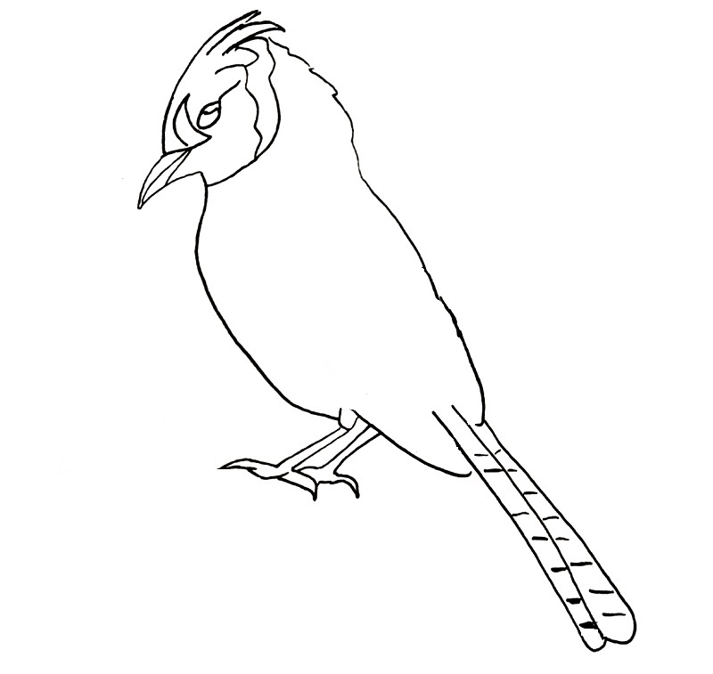 how to draw a blue jay bird step 10