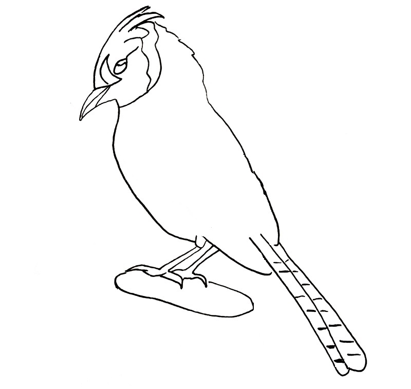 how to draw a blue jay bird step 11