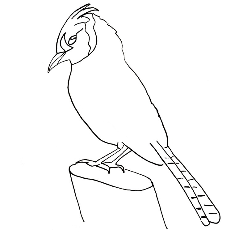how to draw a blue jay bird step 12