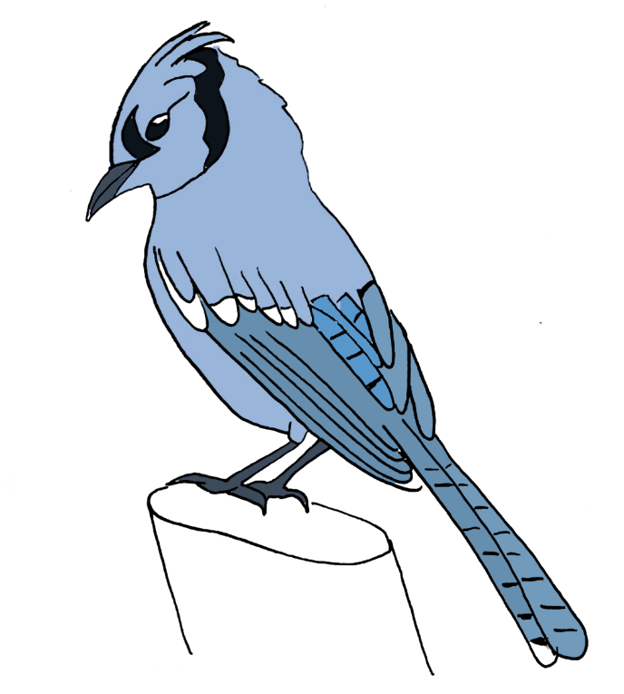 how to draw a blue jay bird step 14