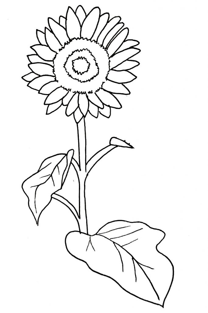 How To Draw A Sunflower Step 11