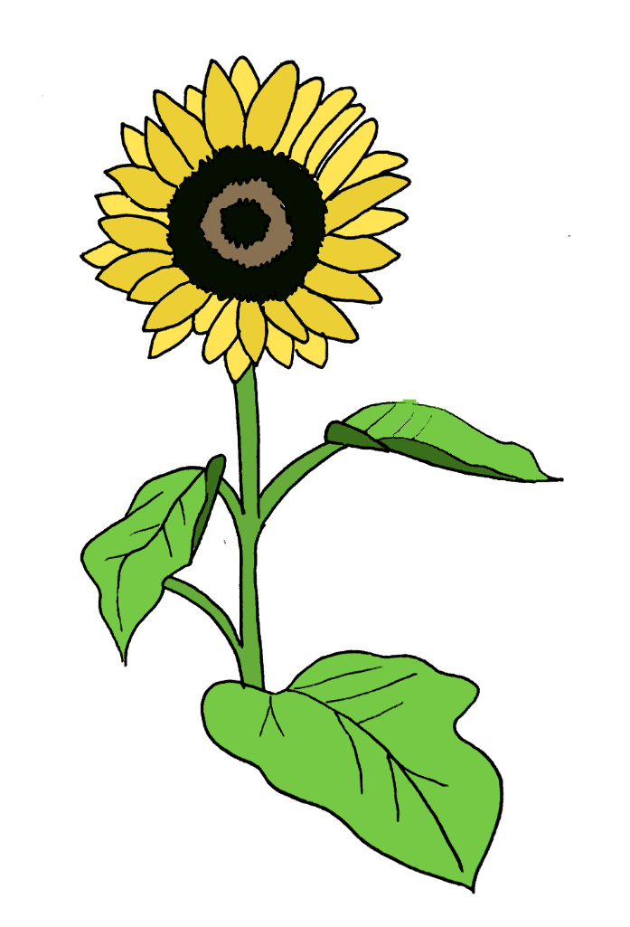 How To Draw A Sunflower Step 12