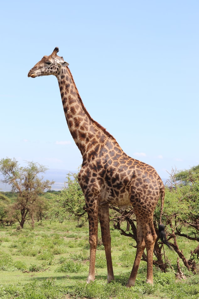 Giraffe Drawing Reference