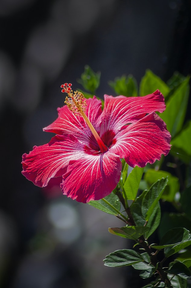 Hibiscus Drawing Reference
